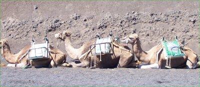 lanzarote-camels.jpg