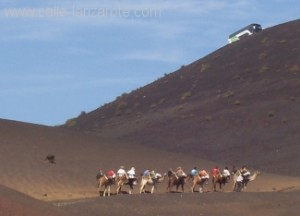 Camels at Timanfaya