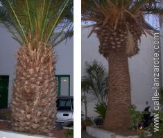 Palm Trees on Lanzarote